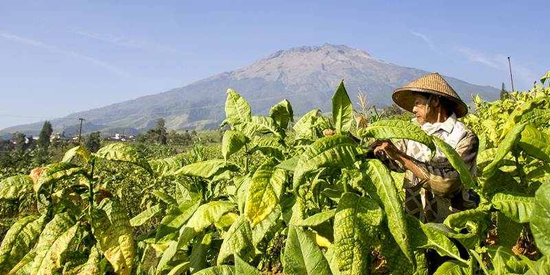 ri-masih-impor-tembakau-petani-menangis