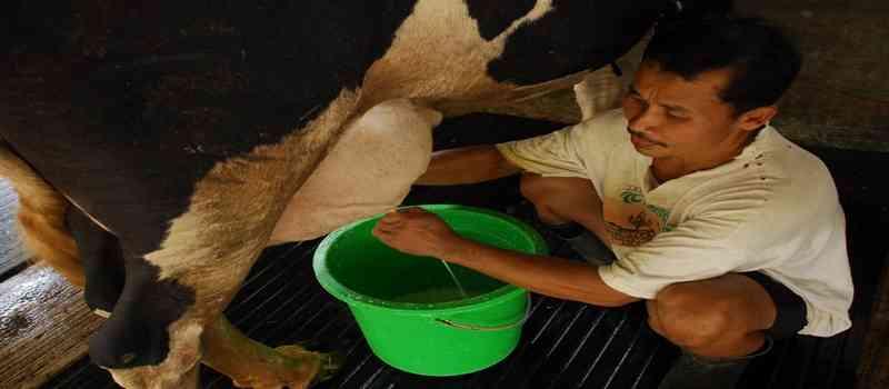 susu-sapi-segar-dibuang-akibat-produktivitas-dan-kualitas-sapi-perah-menurun