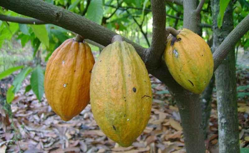 teknik-jitu-mengendalikan-penyakit-busuk-pada-kakao
