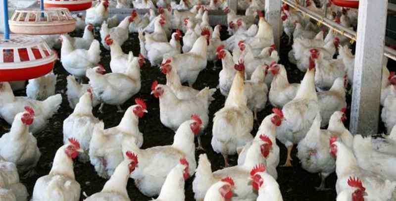 Teknik Tepat Beternak Ayam Broiler