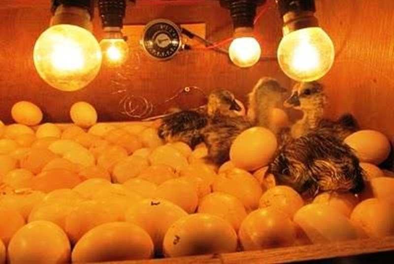 teknik-tepat-menetaskan-telur-bebek