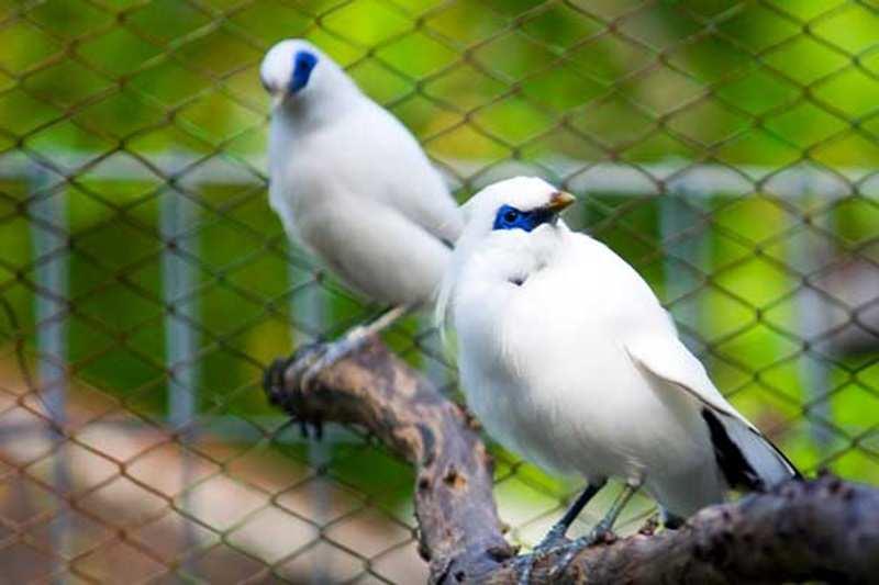 Tips Jitu Beternak Burung Jalak Bali