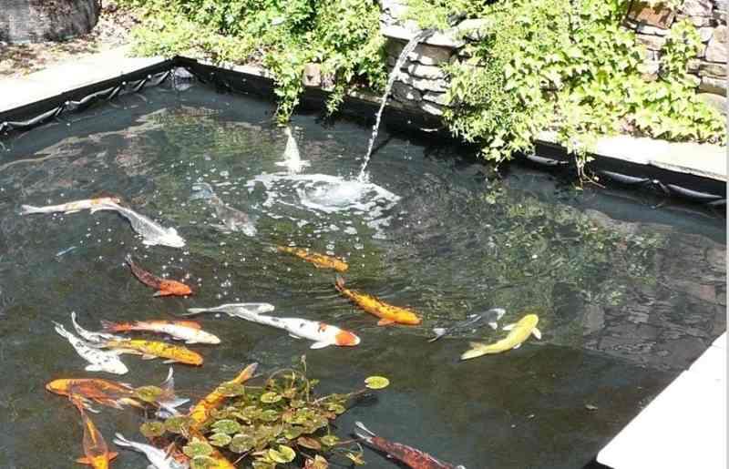 Tips Jitu Membuat Kolam Ikan Koi Sendiri