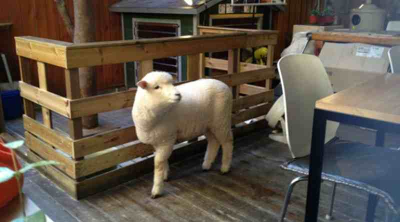 Unik, Di Kafe ini Terdapat Banyak Domba
