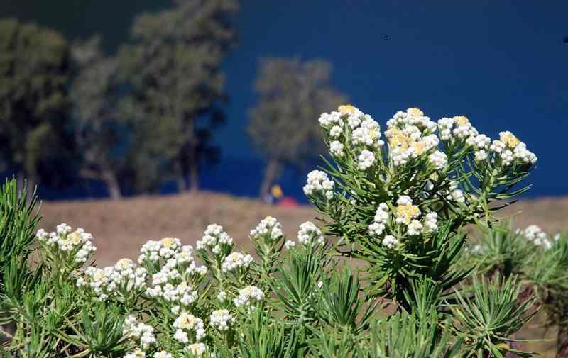 8-edelweiss-si-bunga-cantik-abadi-2
