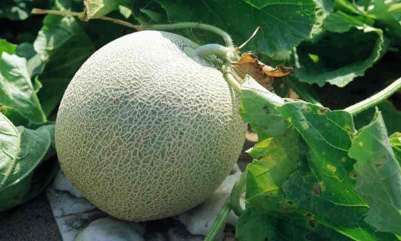 cara-praktis-menghindari-buah-melon-pecah-saat-penanaman