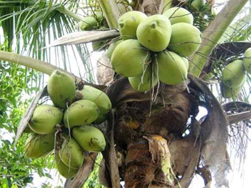 miris-sebanyak-50-700-hektare-perkebunan-kelapa-rusak-di-jawa-barat