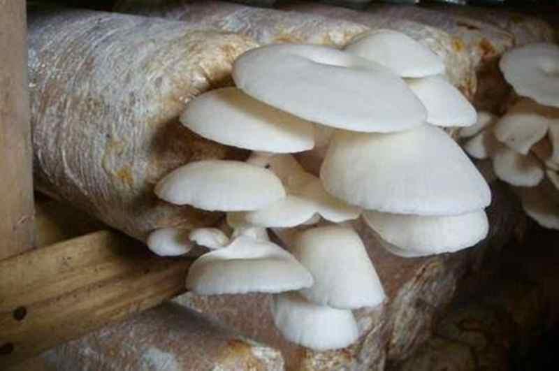 peluang-usaha-media-jamur-tiram-beromzet-jutaan-rupiah-per-bulan
