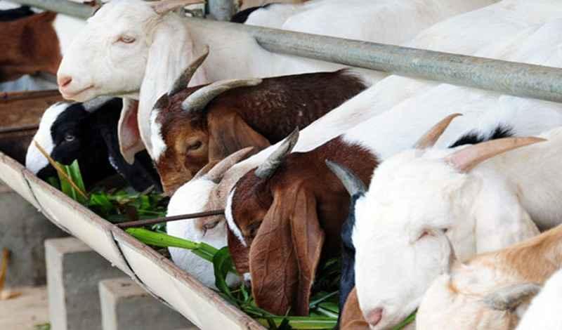 perkenalkan-kambing-boerka-persilangan-baru-kambing-kacang