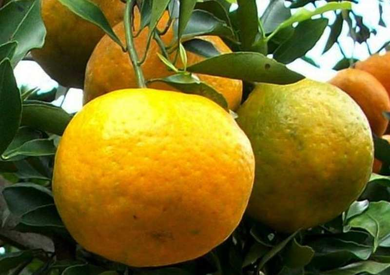 tata-cara-budidaya-jeruk-frimong-asal-australia