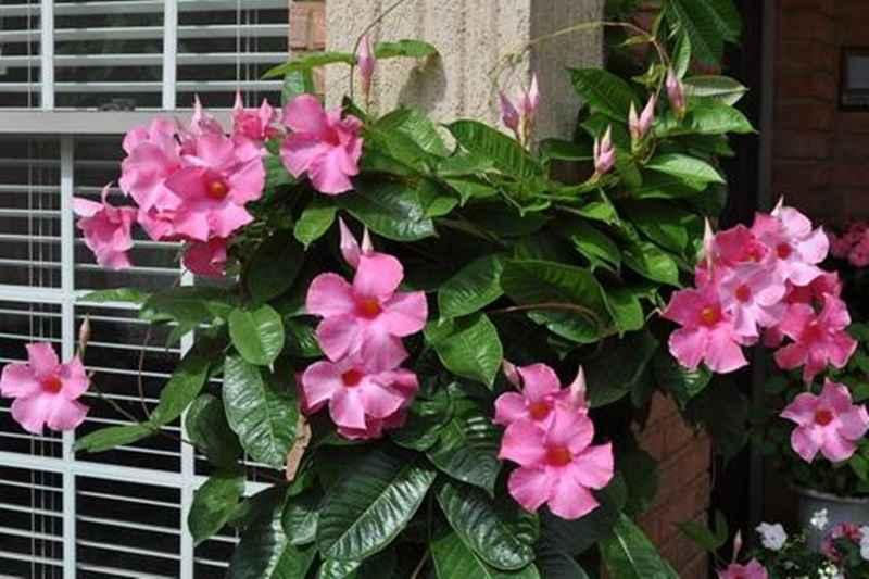 yuk-kenalan-dengan-bunga-cantik-mandevilla