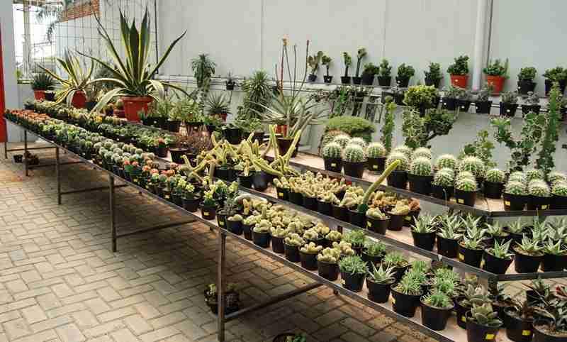 yuk-mengenal-lebih-dekat-si-tanaman-berduri
