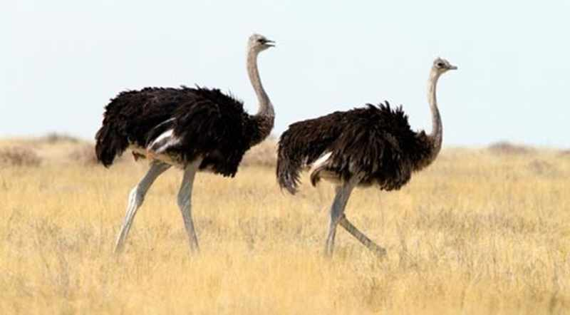 Fakta Menarik Burung Unta Yang Wajib