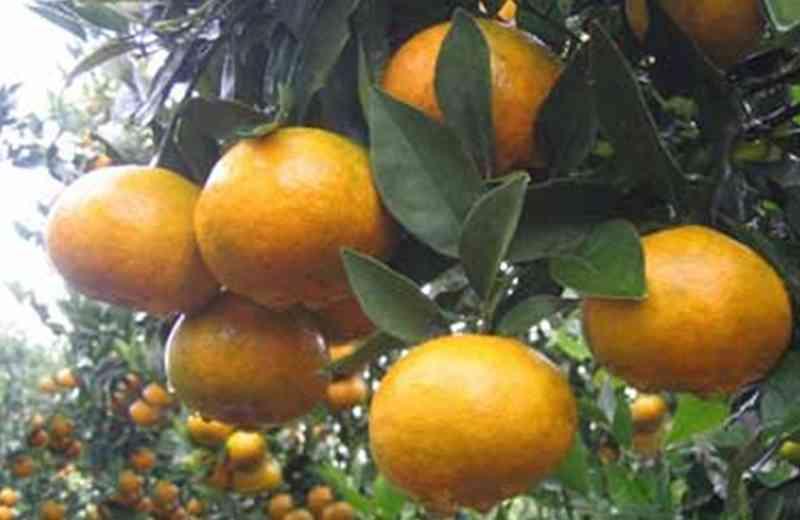 inilah-varietas-jeruk-terbaik-di-indonesia-jeruk-berastagi