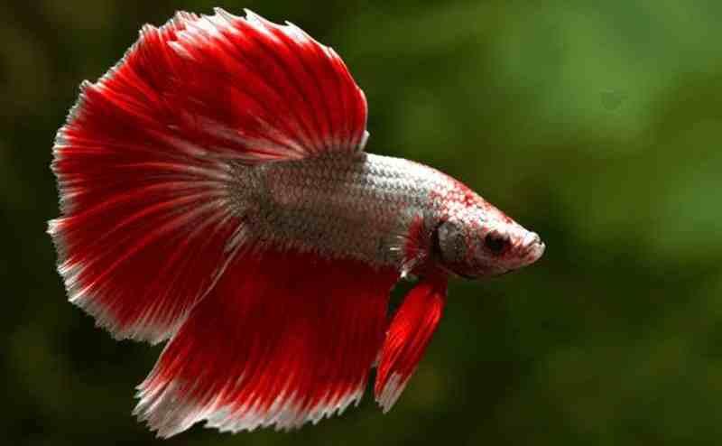 Tata Cara Pemijahan Ikan Cupang Dengan Tepat Artikel Pertanian Terbaru Berita Pertanian Terbaru