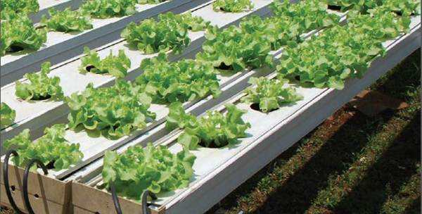 3 Alasan Bertanam Secara Hidroponik