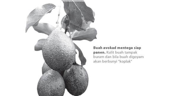 Avokad (Persea americana Mill.)