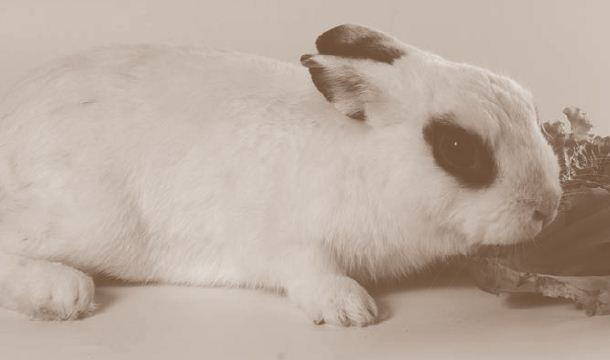 Budidaya Pembibitan Kelinci Tahap Awal