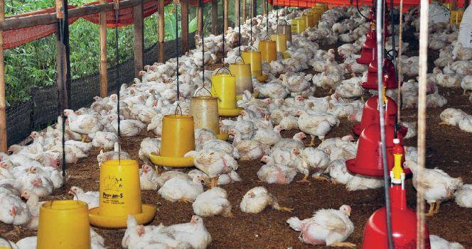 pasar ayam broiler sangat potensial