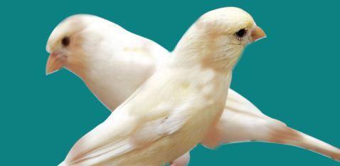 Kenari, Burung yang Dipelihara Banyak Hobiis