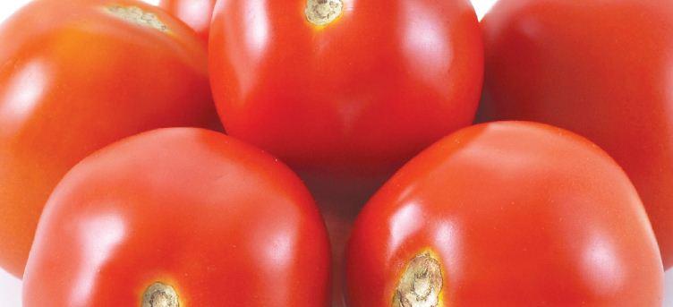 Pemeliharaan Tanaman Tomat