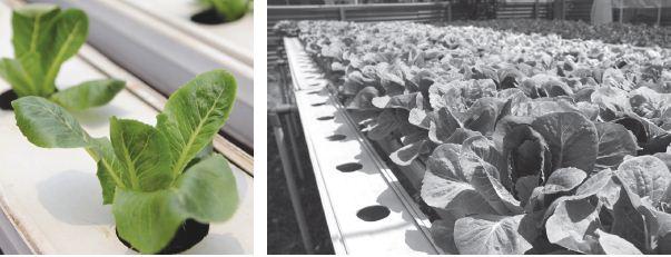Taukah Kalian Sayuran Hidroponik Semakin Populer?