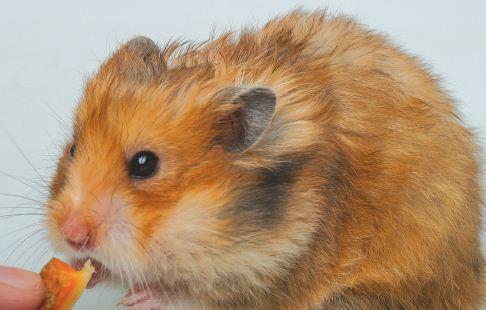 Sebelum Membeli, Ketahuilah Berbagai Jenis Hamster Ini