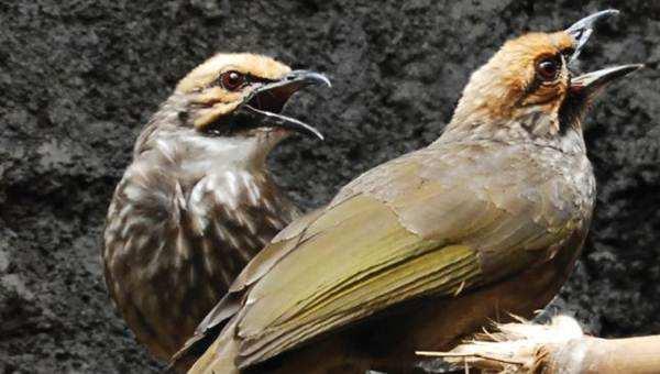 burung cucakrawa jantan
