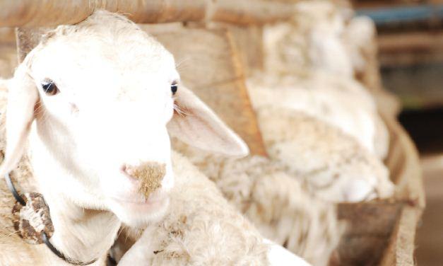 Perbedaan Kaming dan Domba