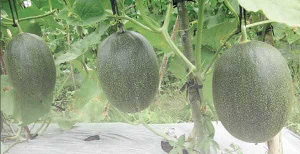 Standar Mutu Buah Melon