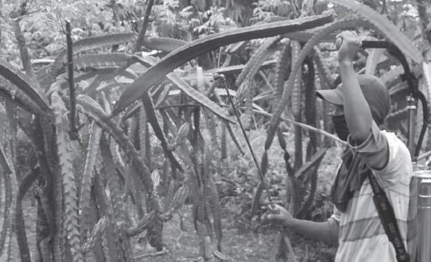 Hama Pada Tanaman Buah Naga