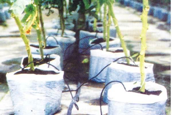 Pemupukan dan penyiraman Tanaman Tomat