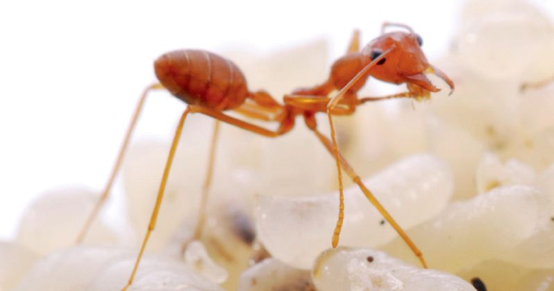 Perkembangbiakan Semut