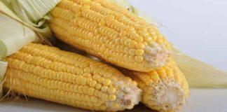 Mengenal Genetik Jagung Manis