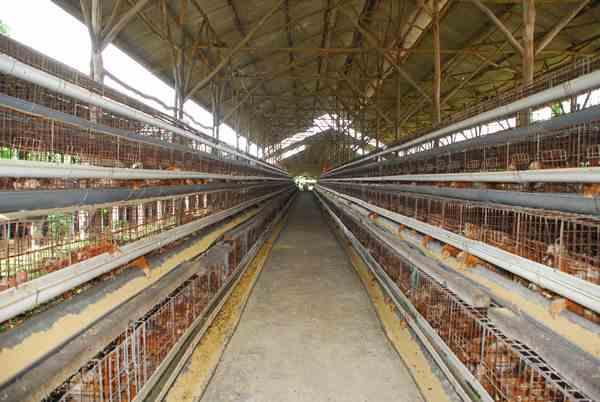 Konstruksi Kandang Baterai yang Baik untuk Ternak Ayam Petelur