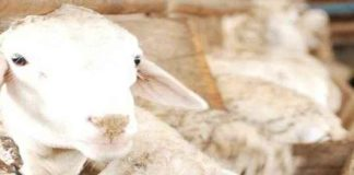 Kondisi-Peternakan-Kambing-dan-Domba-di-Indonesia