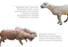 Mengenal Bangsa-bangsa Domba