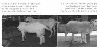 Mengetahui-Birahi-Kambing-dan-Domba