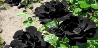 Asal Usul Bunga Mawar Hitam