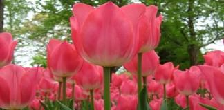 Belajar Menanam Bunga Tulip