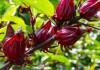 Bunga Rosella Apa Khasiatnya