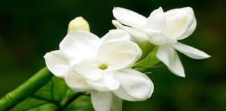 Khasiat Bunga Melati Bagi Kesehatan