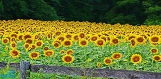 Khasiat Tersembunyi Bunga Matahari