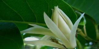 Mengenal Bunga Cempaka Putih
