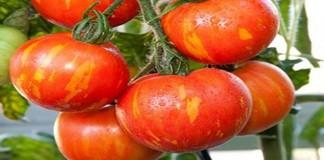 Mengenal Tomat Tigerella