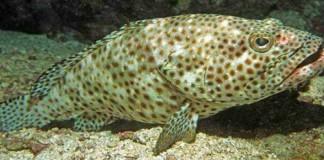Budidaya Ikan Kerapu Mulai Dilirik Nelayan