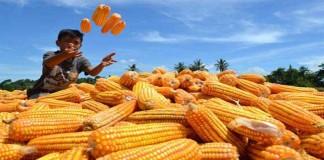 Bulog Gandeng Swasta Untuk Impor Jagung