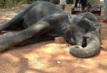 Gajah di Kamboja Mati Kelelahan Usai Mengangkut Wisatawan