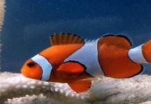 Ikan Nemo, Ikon Wisata Pulau Tikus