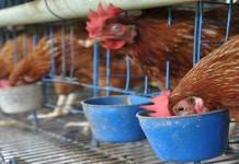 Kementrian Kesehatan dan Kementrian Pertanian Berkolaborasi Cegah Flu Burung